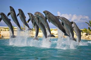 9 dolphins rising up out of the water at the same time