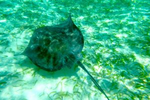 Stingray swimming on a ocean sandbar near Belize